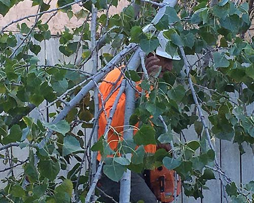 Scott Anderson trimming a tree with Anderson Tree Company, Sacramento, CA