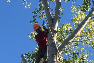Tree trimming and pruning by Anderson Tree Company, Sacramento, CA